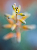 An Aloe Plant Endemic to Socotra Island Photographic Print by Michael Melford