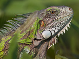 Green Iguana, Iguana Iguana Photographic Print by Roy Toft