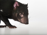 An Endangered Tasmanian Devil, Sarcophilus Harrisii Photographic Print by Joel Sartore