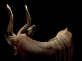 A Male Eastern Bongo, Tragelaphus Eurycerus Isaaci Photographic Print by Joel Sartore