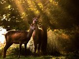 Red Deer, Cervus Elaphus, Huddle Together in the Autumn Light Photographic Print by Alex Saberi