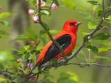 A Male Scarlet Tanager, Piranga Olivacea, Perched on a Tree Branch Photographic Print by George Grall