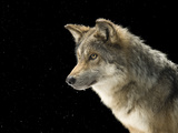 A Mexican Gray Wolf, Canis Lupus Baileyi Fotografisk tryk af Joel Sartore
