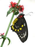 A Butterfly Clings to a Red-Flowered Green Stalk Photographic Print by Raymond Gehman
