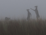 Deer Stand Up in the Fog to Fight Photographic Print by Barrett Hedges