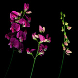 High Resolution of Sweet Pea Flowers in Stages of Openness Photographie par Amy &amp; Al White &amp; Petteway