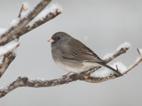 A Dark-Eyed Junco, Junco Hyemalis, Perched on a Snowy Branch Reproduction photographique par George Grall