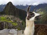 A Llama on a Road Above Machu Picchu Fotografisk tryk af Michael Melford