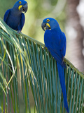 Hyacinth Macaws, Anodorhynchus Hyacinthinus, in a Palm Plant Photographic Print by Roy Toft