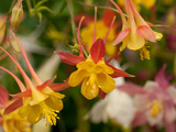 Cluster of Red and Yellow Columbine Flowers, Aquilegia Species Photographic Print by Darlyne A. Murawski