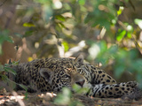 Jaguar, Panthera Onca, Resting in Shade Photographic Print by Roy Toft