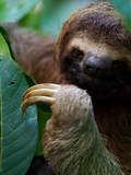 Portrait of a Brown-Throated Three-Toed Sloth, Bradypus Variegatus Photographic Print by Roy Toft