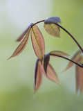 New Japanese Maple Leaves in Spring Photographic Print by Richard Nowitz