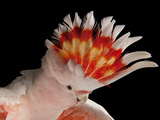 Portrait of a Major Mitchell's Cockatoo, Lophochroa Leadbeateri Photographic Print by Joel Sartore