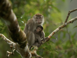 Mother and Nursing Infant Long-Tailed Macaque in a Strangler Fig Photographic Print by Tim Laman