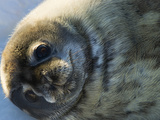 A Seal Pup on Ross Island Photographic Print by Carsten Peter