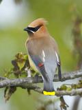 A Male Cedar Waxwing in Breeding Color on a Tree Branch Photographic Print by George Grall