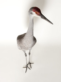 An Endangered Mississippi Sandhill Crane, Grus Canadensis Pulla Photographic Print by Joel Sartore