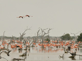 A Group of Caribbean Flamingos Among Dead Mangrove Trees Fotografisk tryk af Klaus Nigge
