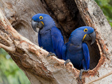 Two Hyacinth Macaws, Anodorhynchus Hyacinthinus, in a Tree Photographic Print by Roy Toft