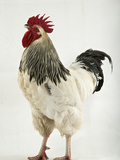 A Light Sussex, a Rare Breed of Chicken from Tatton Park Farm Photographic Print by Jim Richardson