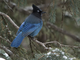 Steller's Jay, Cyanocitta Stelleri, in Winter, in Northwest Wyoming Photographic Print by Greg Winston