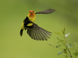 A Western Tanager, Piranga Ludoviciana, Perched on a Twig Photographic Print by Bob Smith