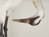 An Endangered Whooping Crane, Grus Americana Fotografisk tryk af Joel Sartore