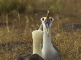 Waved Albatrosses, Phoebastria Irrorata, in Courtship Behavior Photographic Print by Tim Laman
