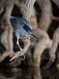 Striated Heron, Butorides Striata, Hunting Photographic Print by Roy Toft