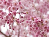 Looking Up at Flowering Branches of a Weeping Higan Cherry Tree Photographic Print by Darlyne A. Murawski