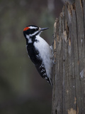 A Male Downy Woodpecker, Picoides Pubescens, on a Tree Trunk Photographic Print by Greg Winston