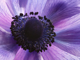 Close Up of a Purple Anemone Flower, Anemone Coronari Papier Photo par Darlyne A. Murawski