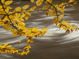 Beech Tree Branch over the Ausable River Photographic Print by Michael Melford