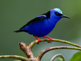 Red-Legged Honeycreeper, Cyanerpes Cyaneus, Perched on a Limb Photographic Print by Roy Toft