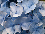 Close Up of Blue Mophead Hydrangea Flowers, Hydrangea Macrophylla Photographic Print by Darlyne A. Murawski