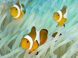 False Clown Anemonefish on an Anemone, Sabonan Island Photographic Print by Mauricio Handler