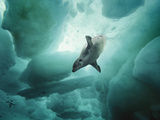 A Harp Seal Swimming Gracefully under Ice. Photographic Print by Brian J. Skerry