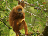 Female Red Leaf Monkey, Presbytis Rubicunda, Eating a Strangler Fig Photographic Print by Tim Laman