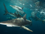 Gray Reef Sharks Swimming Through the Water Photographic Print by Mauricio Handler