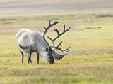 Svalbard Reindeer, Rangifer Tarandus Platyrhynchus, Grazing in Tundra Photographic Print by Bob Smith