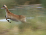 Red Lechwe Running and Jumping, Kobus Leche Leche Photographic Print by Roy Toft