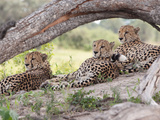 Three Cheetahs, Acinonyx Jubatus, Relaxing under a Tree Limb Photographic Print by Roy Toft