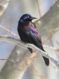 A Male Common Grackle, Quiscalus Quiscula, in a Tree Photographie par George Grall