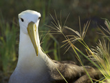 A Waved Albatross, Phoebastria Irrorata, Formally Diomedea Irrorata Photographic Print by Tim Laman