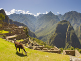 A Llama Grazing at the Pre-Columbian Inca Ruins at Machu Picchu Fotografisk tryk af Mike Theiss
