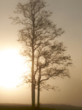 Trees Illuminated by the Sun Being Blocked Out by the Fog Photographic Print by Barrett Hedges