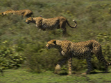 A Cheetah Stalks across the African Savanna Photographic Print by Michael Melford
