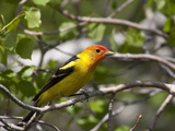 Portrait of a Western Tanager, Piranga Ludoviciana Photographic Print by Greg Winston