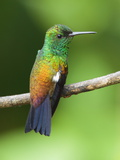 A Copper-Rumped Hummingbird, Amazilia Tobaci, on a Tree Branch Photographie par George Grall
